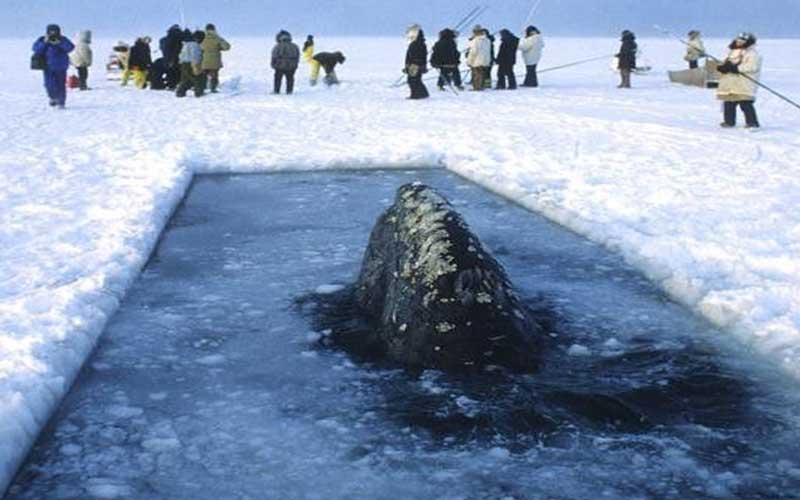 Le balene di Barrow
